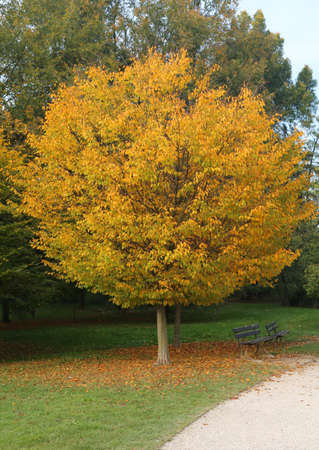 tree in autumn with the thick big-headed hair in the public park