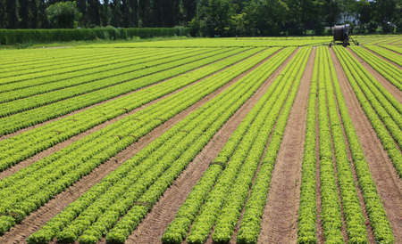 planted field with lettuce and irrigation devices automatically in the background Reklamní fotografie