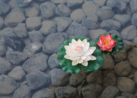 two water lily flowers in the pond with stones on the bottom