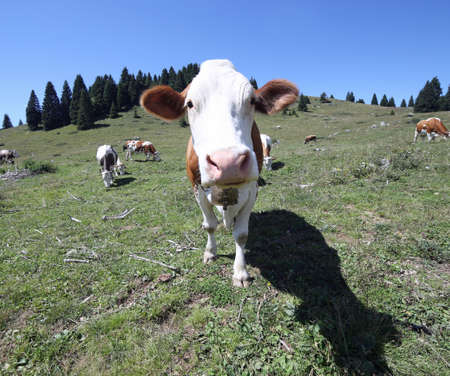 curious cow with long muzzle looks curious inside the cameras fish eye lens Stock Photo