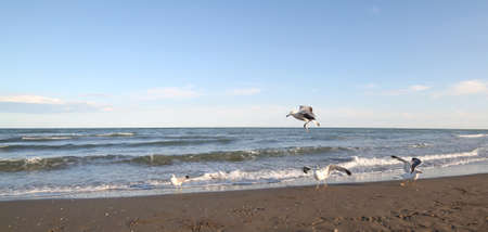 many gulls fly on the seashore looking for food at sunset