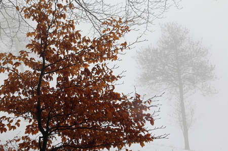 tree with dried leaves during a misty winter day in the mountains