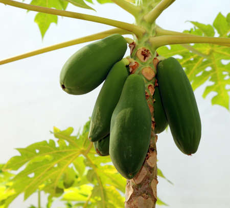 Unripe big green fruits of the papaya on the tree