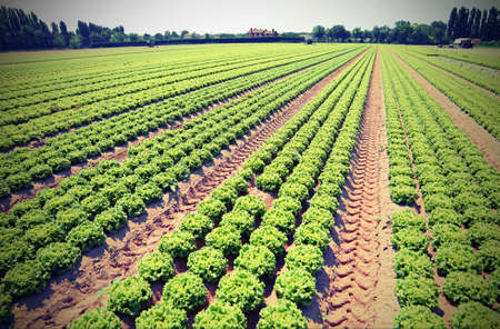 cultivated field of green lettuce in the Padana plain in northern italy with vintage effect