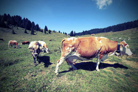 many cows grazing in the meadow in the mountains with vintage effect