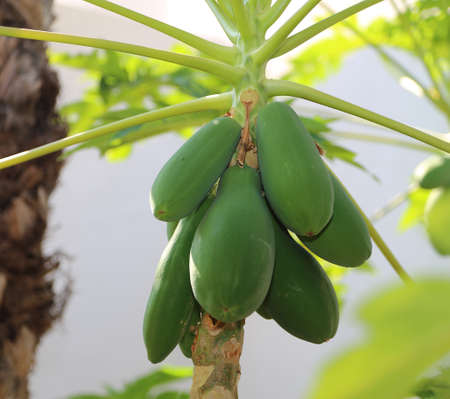 Unripe green fruits of the papaya on the tree