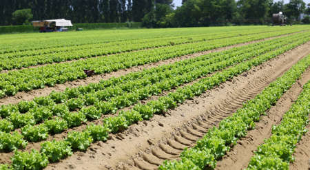 immense field of green lettuce in the Padana plain in northern italy Stock Photo