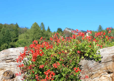 hollow trunk used as a pot for red geraniums flowers in the mountains