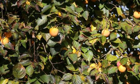 veel rijpe oranje dadelpruimen die in de herfst aan de boom hangen