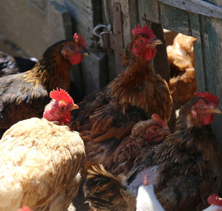 many hens with red crest on the head in the henhouse Stock Photo