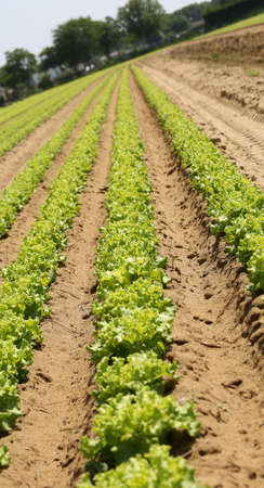 long rows of green ripe lettuce in the Po Valley in Italy with inclination desired by the photographer to give a sense of dynamism to the photographic shoot Stock Photo
