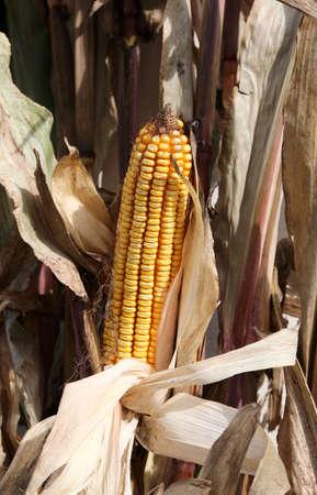 corn cob with beautiful corn seeds after harvest Stock Photo