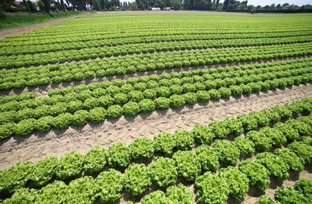 intensive cultivation of green lettuce in the soil made fertile by the sand