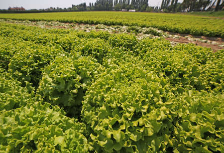 huge agricultural cultivation of lush green lettuce during growth in summer Stock Photo