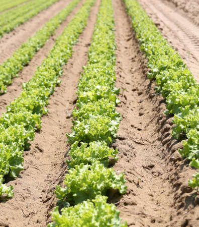 long rows of green ripe lettuce in the Po Valley in Italy Stock Photo