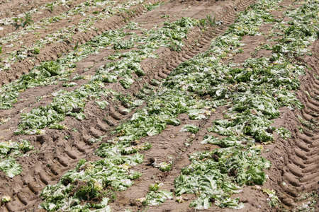 many rotten lettuce in the field after the environmental catastrophe in the cultivated field