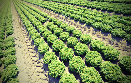 wide field cultivated with green lettuce in the summer on the fertile sandy soil with vintage effect