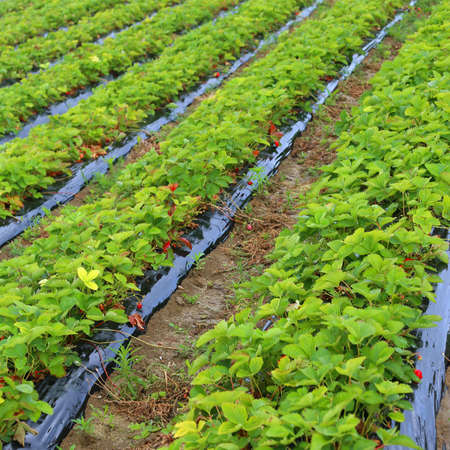 intensive cultivation in a field of red strawberries in the plain Stock Photo