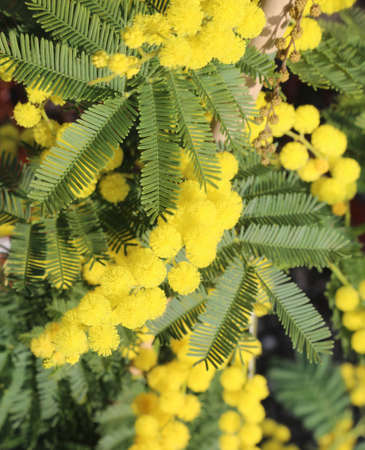 background of yellow mimosa flowers symbol of international day of women Stock Photo