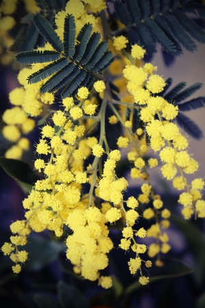 yellow mimosa flowers on the plant in March