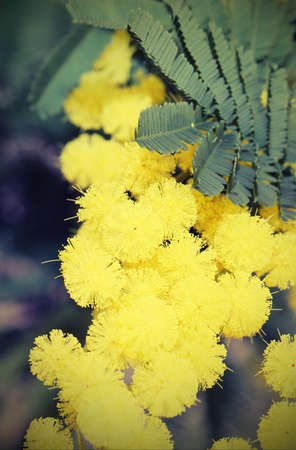 yellow mimosa flowers for International Womens Day
