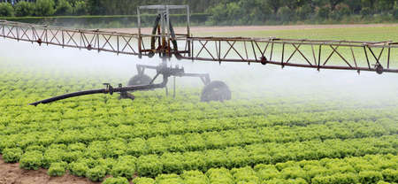 automatic sprinklering system of a cultivated field of green lettuce in summer Stock Photo