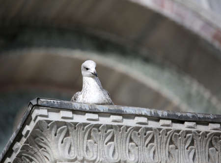 white seagull looks curiously above the Column at Venice in Italy