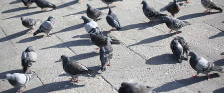 many grey pigeons in the square of the city