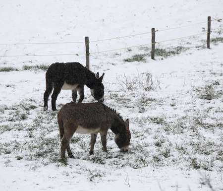 two cold donkeys graze icy grass in winter with snow Stock Photo