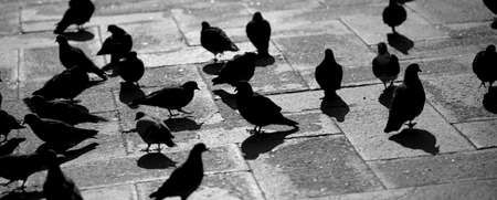 pigeons in the square of Saint Mark in Venice Italy with black and white effect Stock Photo - 97591536