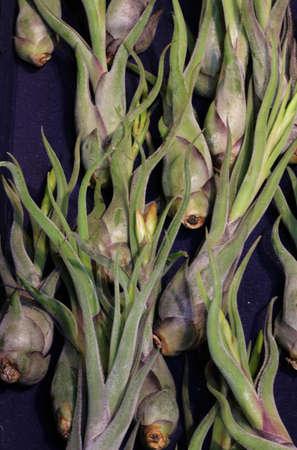 rare succulent plant called Tillandsia Caput Medusae for sale. This plant remove the pollution Stock Photo
