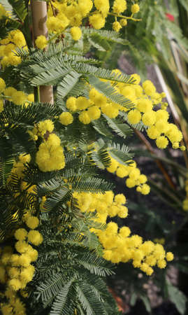 yellow flower of mimosa plants in march symbol of international womens day
