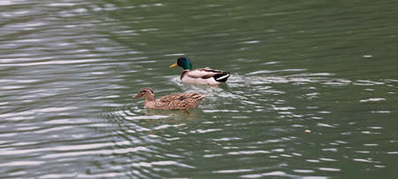 a duck and a mallard swim side by side in the placides  waters of a lake