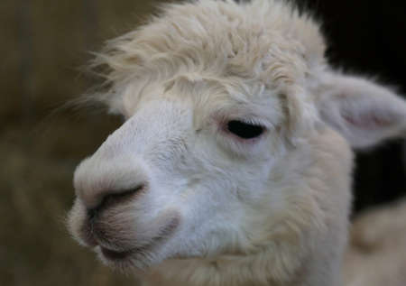 snout of a white alpaca pup in the enclosure of a zoo