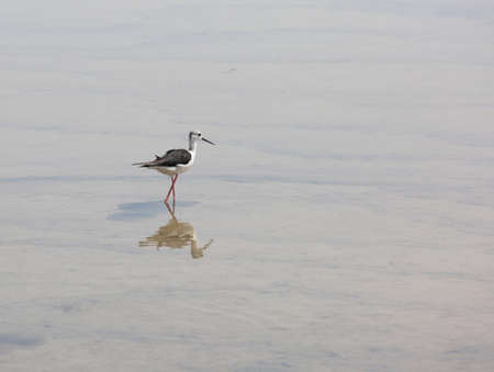 Black-winged stilt on the water of pond
