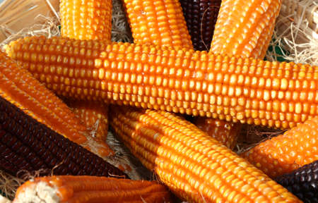 background of ripe yellow corn cobs with small seeds Фото со стока