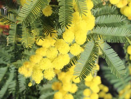grandi fiori di mimosa fioritura gialla in primavera con foglie