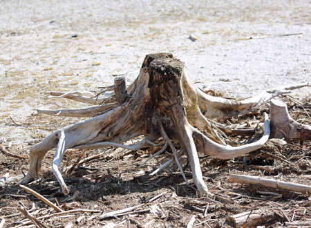 big dry trunk of tree like a octopus    in the beach