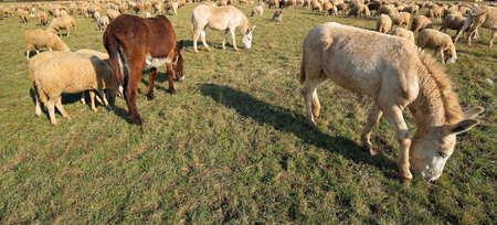 donkeys with brown and white fur grazing alon by a fisheye lens Stock Photo