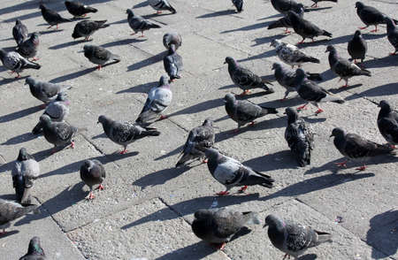 many pigeons in the main square of the city