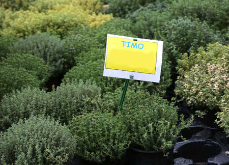 aromatic plant with label with the text TIMO which in Italian means thyme