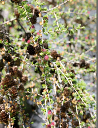natural spring background with larch cones and small young red seed on branches Imagens - 100704420