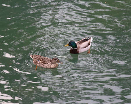 mallard and a duck swimming in the placid waters of a pond Stock Photo