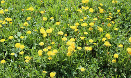 many yellow dandelion flowers in the flowering meadow in spring