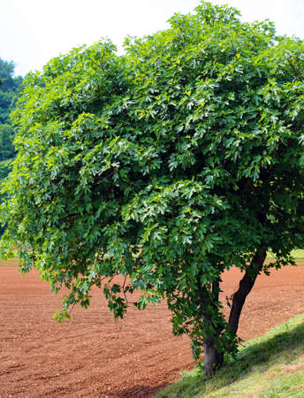 big fig tree with green leaves in spring Stock Photo