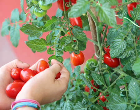 Hands of child with lots of ripe red tomatoes just picked from the plant in summer Archivio Fotografico - 102501849