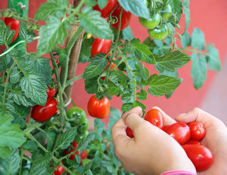 Hands of the little girl with very red ripe tomatoes just picked from the plant