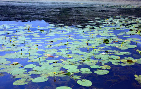 leaves of water lilies floating above the pond water in spring Stock Photo