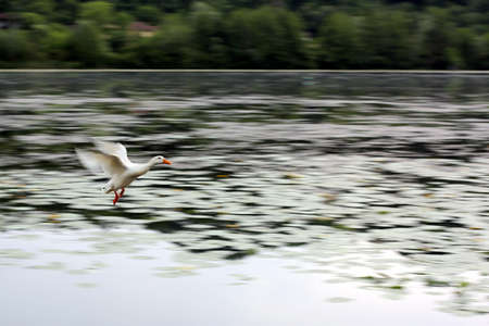 White goose flies over the lake during migration to the warmer countries