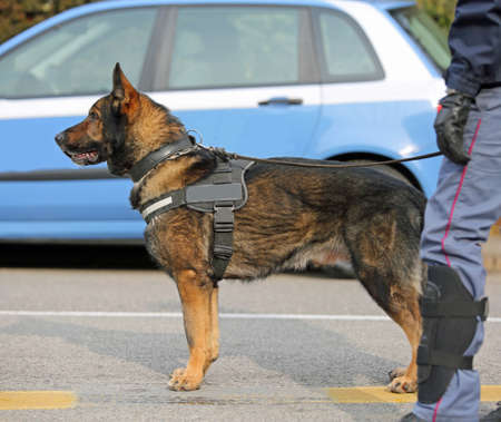 Dog Canine Unit of the police with cop to the detection of explosive material during a counterterrorism operation